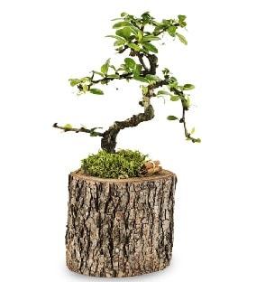 Doğal kütükte S bonsai ağacı  Çorum ucuz çiçek gönder