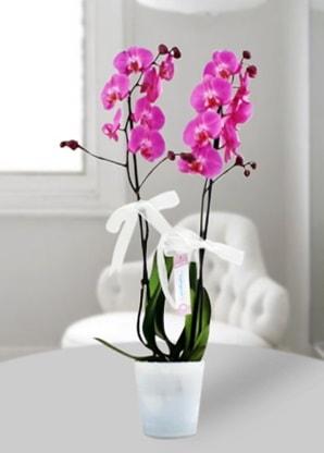 Çift dallı mor orkide  Çorum çiçek siparişi vermek