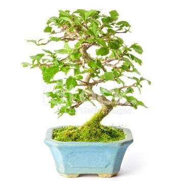 S zerkova bonsai kısa süreliğine  Çorum çiçek yolla