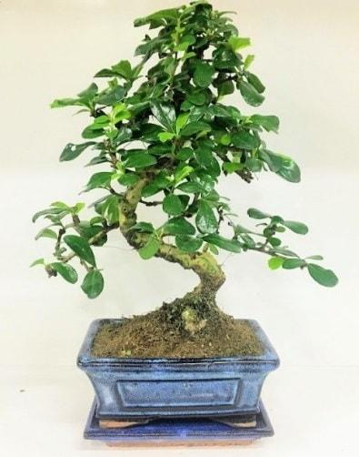 S Bonsai japon ağacı bitkisi  Çorum anneler günü çiçek yolla