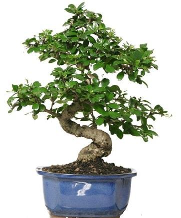 21 ile 25 cm arası özel S bonsai japon ağacı  Çorum çiçek , çiçekçi , çiçekçilik