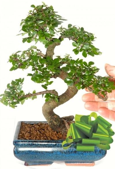 Yaklaşık 25 cm boyutlarında S bonsai  Çorum çiçekçiler
