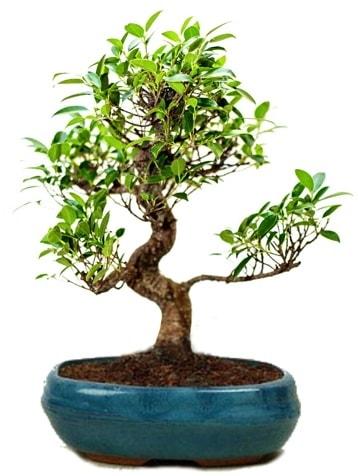 25 cm ile 30 cm aralığında Ficus S bonsai  Çorum çiçek gönderme
