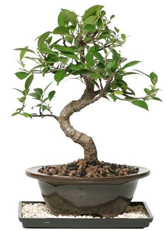 Altın kalite Ficus S bonsai  Çorum çiçek , çiçekçi , çiçekçilik  Süper Kalite