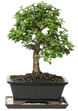 15 cm civarı Zerkova bonsai bitkisi  Çorum çiçekçiler