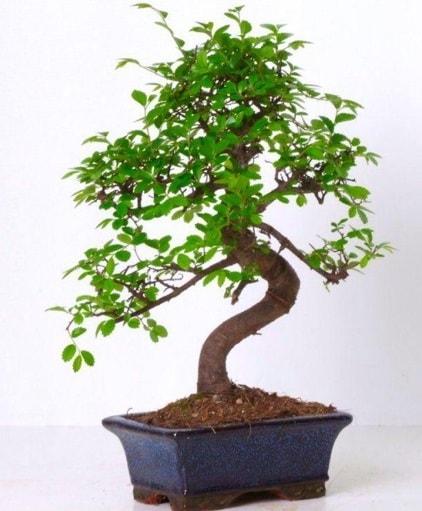 S gövdeli bonsai minyatür ağaç japon ağacı  Çorum çiçek gönderme