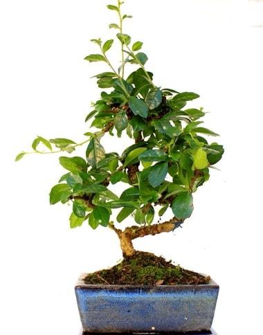 S gövdeli carmina bonsai ağacı  Çorum çiçekçi telefonları  Minyatür ağaç