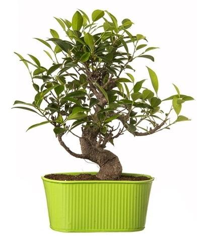 Ficus S gövdeli muhteşem bonsai  Çorum çiçekçiler