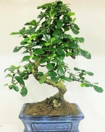 Zelkova S gövdeli Minyatür ağaç Bonzai  Çorum çiçek satışı