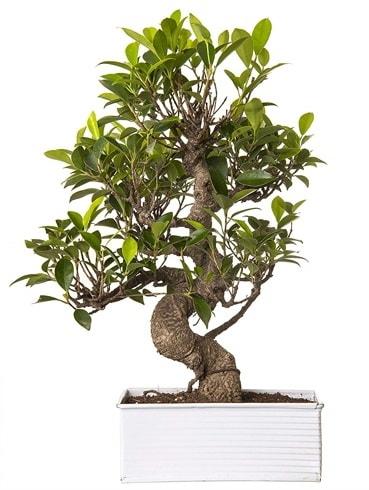 Exotic Green S Gövde 6 Year Ficus Bonsai  Çorum çiçek gönderme