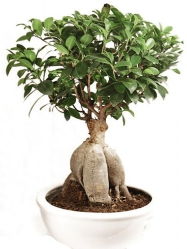 Ginseng bonsai japon ağacı ficus ginseng  Çorum çiçek yolla