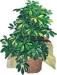 Çorum online çiçek gönderme sipariş  Schefflera gold